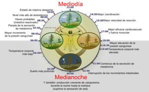 300px-Biological_clock_humanNycthéméralVersion_Español